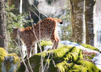 Luchs im Bayerischen Wald