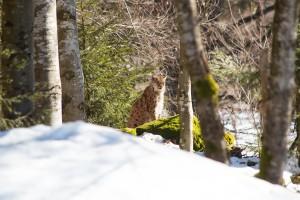 Bayerwald Luchs Tierfreigelände