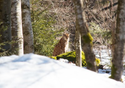 Tierfreigelände Luchs Bayerwald