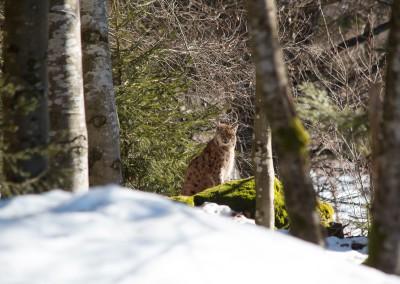 Luchs Tierfreigelände Bayerischer Wald
