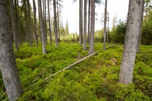 Waldwildnis im Nationalpark Bayerischer Wald