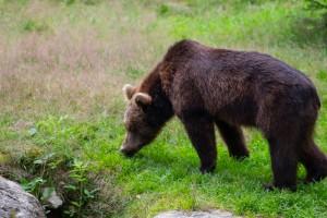 Bär im Bayerischen Wald