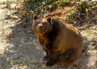 Braunbär im Bayerischen Wald