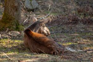 Elche im Tierfreigelände
